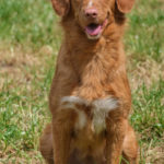 Nova scottia duck tolling retriever