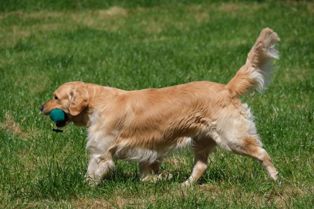 Golden retriever 9