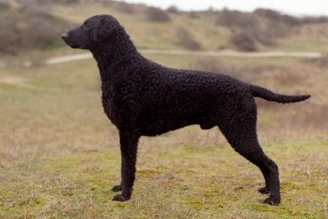 Curly coated retriever 2