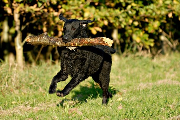 Curly Coated Retriever 3