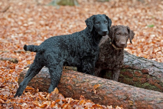 Curly Coated Retriever 4