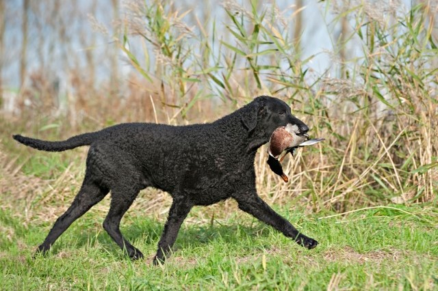 Curly Coated Retriever 5